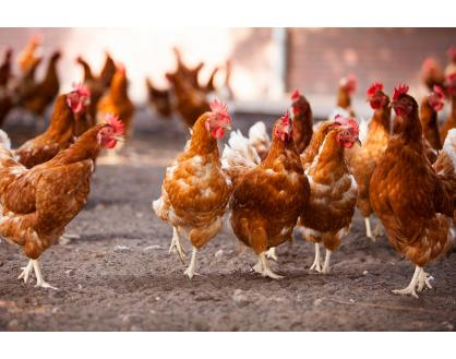 We Know Why the Chicken Crossed the Road