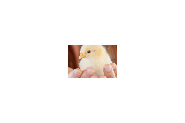New Country Organics' Beginner's Guide for Raising Chicks