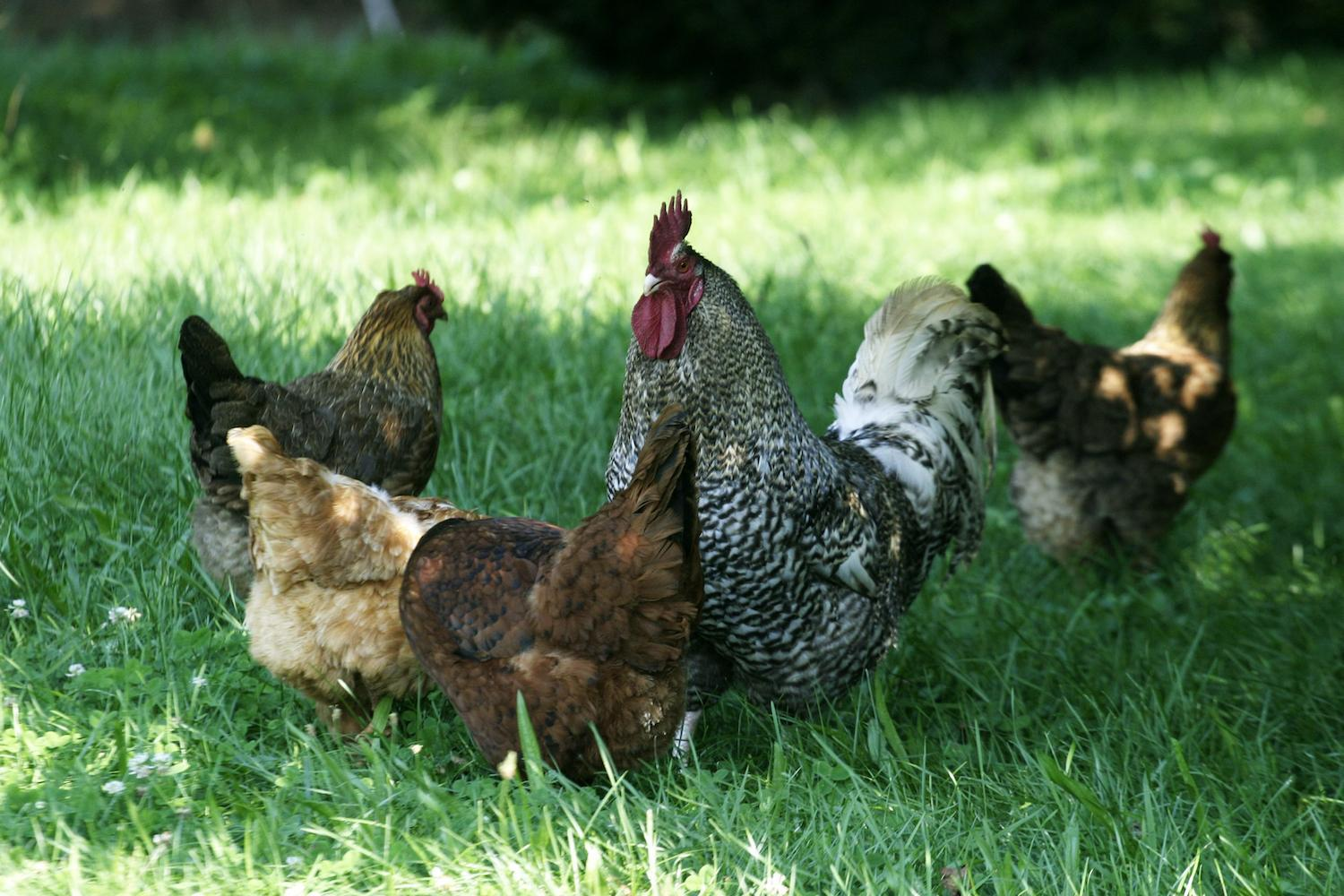 Warmer months: How poultry can benefit from a no-corn diet